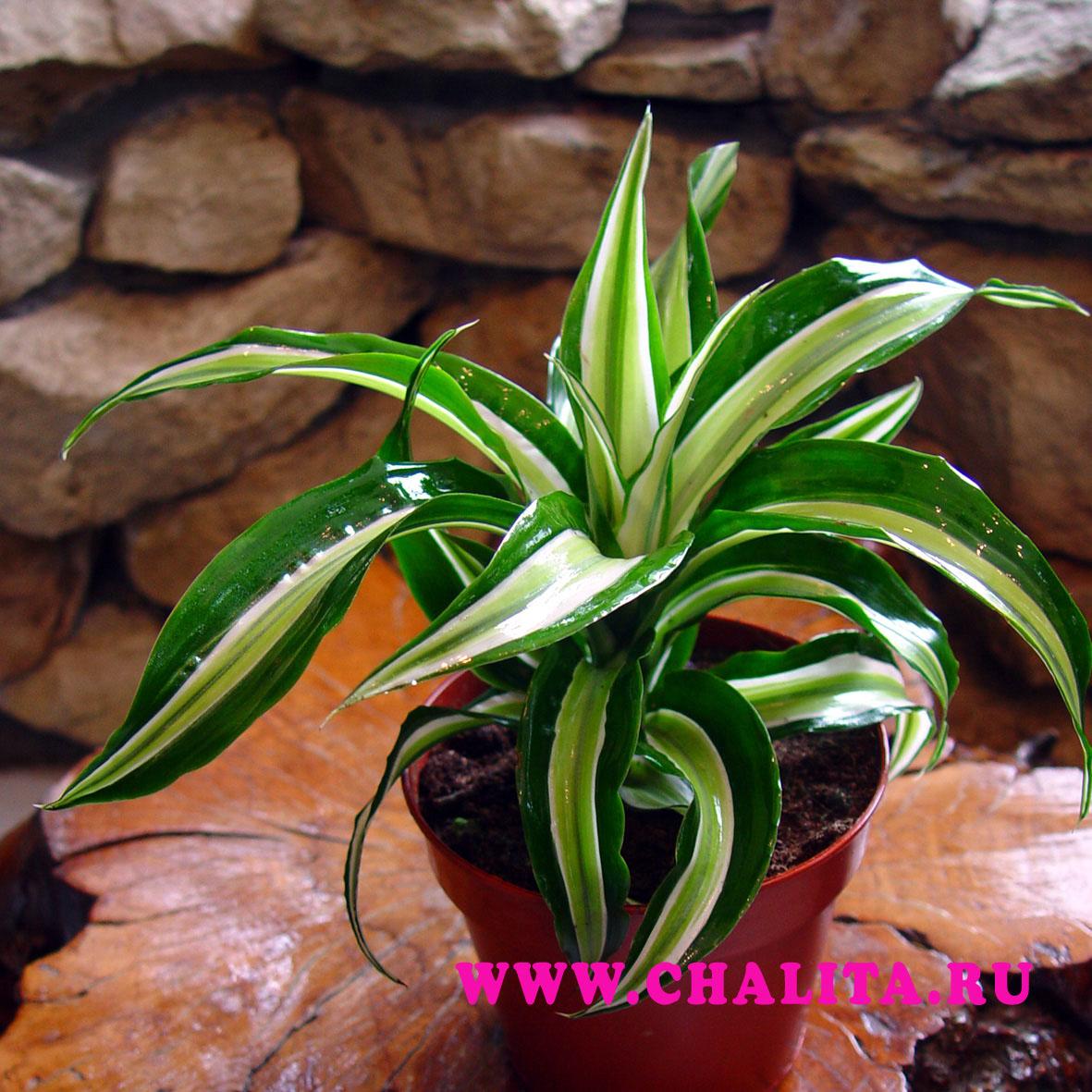 Комнатное растение в горшке драцена